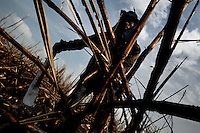 A sugar cane cutter works with a machete in a field near Florida, Valle del Cauca, Colombia, 30 May 2012. The Cauca River valley is the booming centre of agriculture and sugar cane cultivation in Colombia. Although the main part of the crop is still refined into a sugar, the global demand of biofuel and ethanol has intensified the sugar cane production in the last years. 85 percent of Colombia's cane crop is still harvested the manual way, employing approximately 30,000 workers. Working six days a week, under harsch labor conditions, the sugar cane cutters earn $4 for every ton of cane they cut, with no access to social benefits due to the tricky system of intermediary contractors and cooperatives.