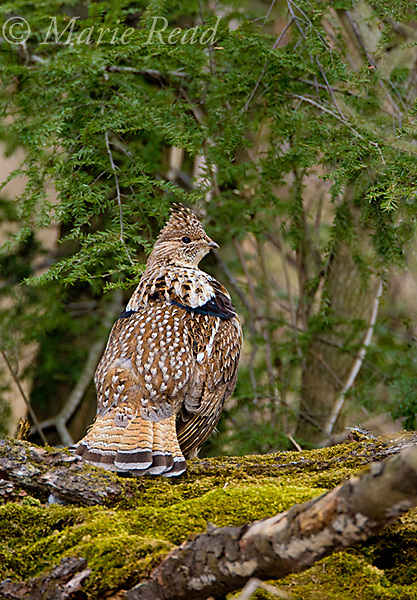 Ruffed Grouse (Bonasa umbellus), male on drumming log, Newfield, New York, USA