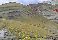 Angled front-to-back view of Painted Hills with foreground blooming yellow flowers. John Day Fossil Beds National Monument, Mitchell, Oregon.