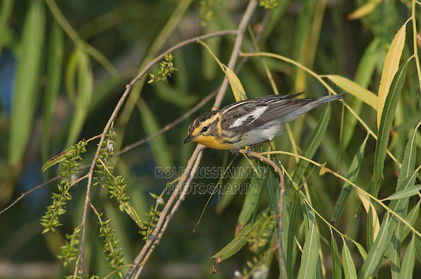 Blackburnian Warbler, Dendroica fusca, female, Port Aransas, Texas, USA.