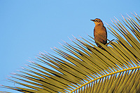 Great-tailed Grackle, Quiscalus mexicanus, female on palm frond, New Braunfels, Texas, USA, April 2001