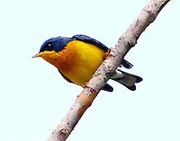 Adult male tropical parula