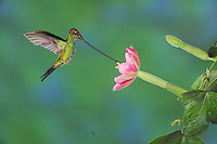 Sword-billed Hummingbird (Ensifera ensifera), male feeding from passionflower (Passiflora mixta),Papallacta, Ecuador, Andes, South America