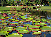 RB3684M-D. horses cool off in pond full of giant water lily pads (Victoria regia, or Victoria amazonica), up to 1m wide. Pantanal wetlands, Brazil, South America.<br /> Photo Copyright &copy; Melissa Cole. All rights reserved worldwide.  www.brandoncole.com