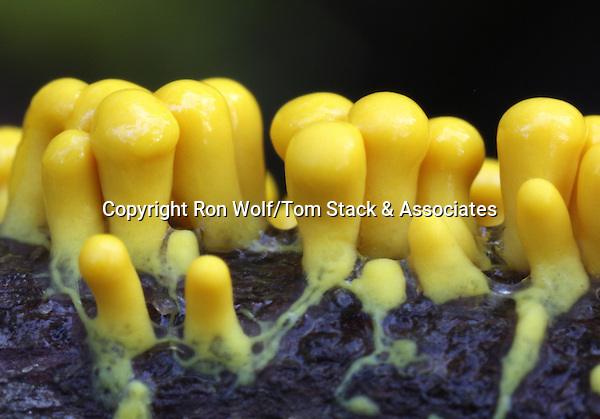 Many-headed Yellow Slime (Physarum polycephalum) on an oak twig. Wunderlich County Park.  Woodside, San Mateo Co., Calif.