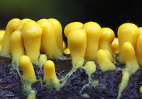 Many-headed Yellow Slime (Physarum polycephalum) on an oak twig. Wunderlich County Park.  Woodside, San Mateo Co., Calif.
