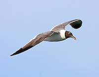 Adult laughing gull