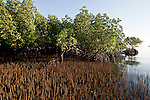 Roots of black mangrove tree (Avicennia germinans)