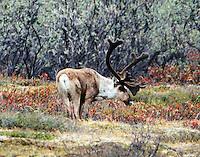 Caribou bull