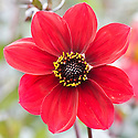Dahlia 'Dovegrove', early September.