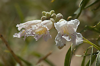 Desert-willow, Chilopsis linearis. Algodones dunes, Imperial County, California