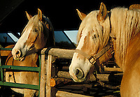 Two Palomino horses behind stall gate. Arizona.