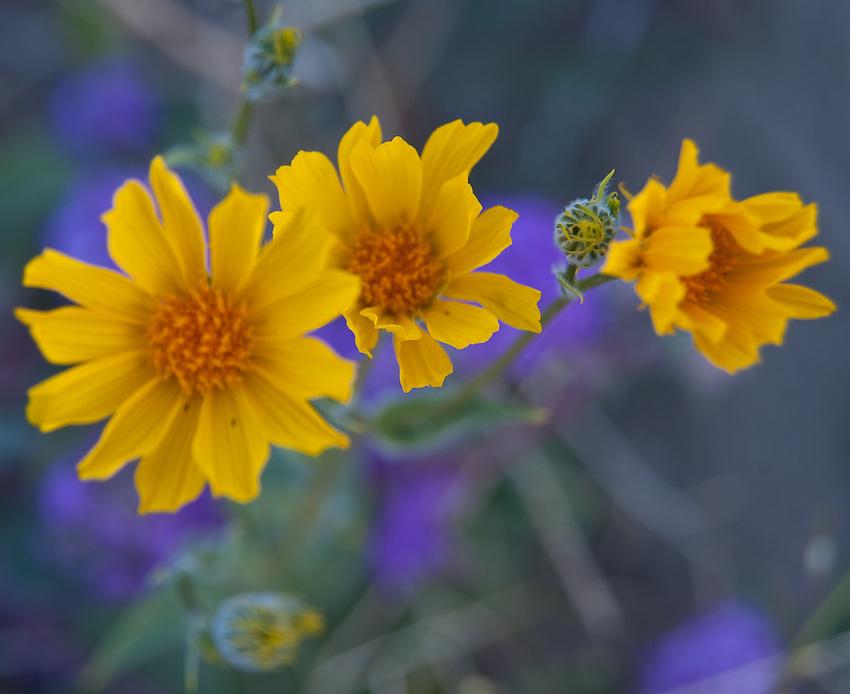 Sesert Sunflower closeup, Anza Borrego Desert State Park, California