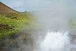 Horses Grazing on Ridge behind Boiling Hot Spring near Reykholt in Iceland