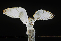 Barn Owl (Tyto alba), adult landing on fence post with mouse prey, Rio Grande Valley, Texas, USA