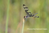 06580-00215 Banded Pennant (Celithemis fasciata) male Washinton Co. MO
