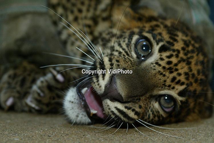Foto: VidiPhoto..ARNHEM - Het pas geboren jong van de Shri Lanka-panter Radha in Burgers Zoo in Arnhem, is donderdag ingeënt tegen kattenziekte en voorzien van een transponder. Eveneens werd het geslacht van het diertje bepaald. Daarna mochten moeder en jong samen voor het eerst naar buiten. Shri Lanka-panters worden ernstig in hun.voortbestaan bedreigd. Burgers bezit de enige Shri anka-panter die dit jaar in een Europese dierentuin geboren is.