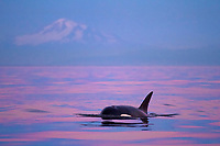 killer whale or orca, Orcinus orca, transient orca, surfacing at twilight with Mount Baker in background, Gulf Islands, British Columbia, Canada, Pacific Ocean
