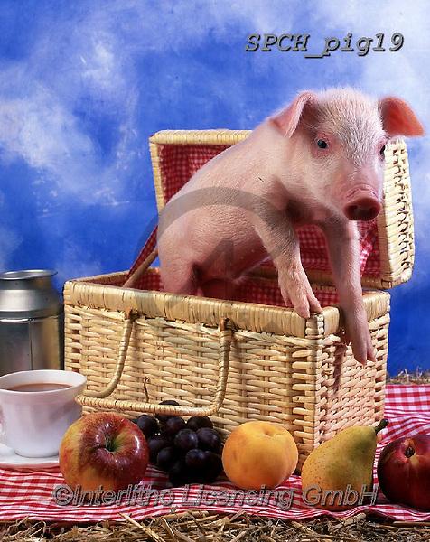 ANIMALS, REALISTISCHE TIERE, ANIMALES REALISTICOS, pigs, photos+++++,SPCHPIG19,#a#, EVERYDAY