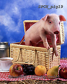 ANIMALS, REALISTISCHE TIERE, ANIMALES REALISTICOS, pigs, photos+++++,SPCHPIG19,#a#, EVERYDAY