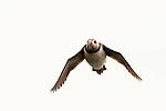 Atlantic Puffin (Fratercula arctica) flying, Skomer Island National Nature Reserve, Skomer Island, Pembrokeshire, Wales, United Kingdom