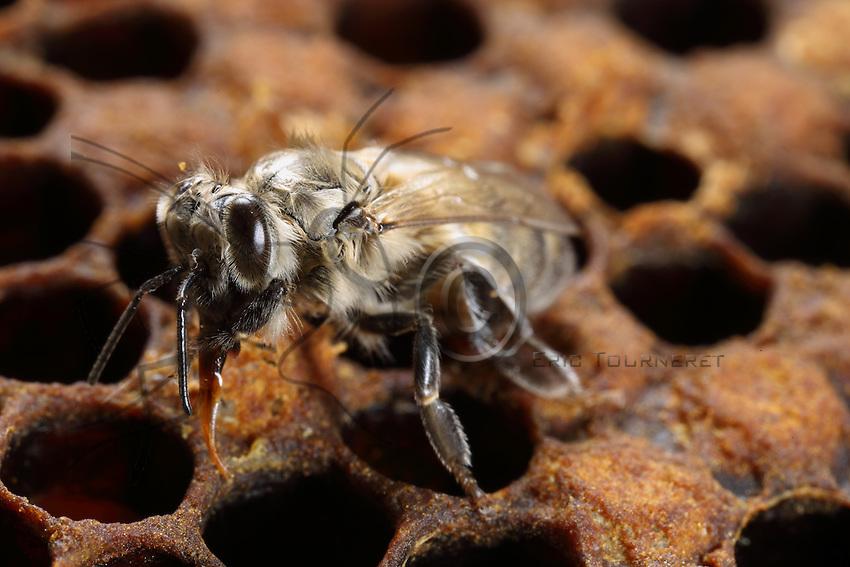 Birth of a young bee which leaves its cell. Its body is light gray, not yet pigmented. It walks on the reserves of pollen that feeds the brood.///Naissance d'une jeune abeille qui sort de la cellule. Son  corps est gris clair, pas encore pigmenté. Elle marche sur les réserves de pollen qui nourrit le couvain.