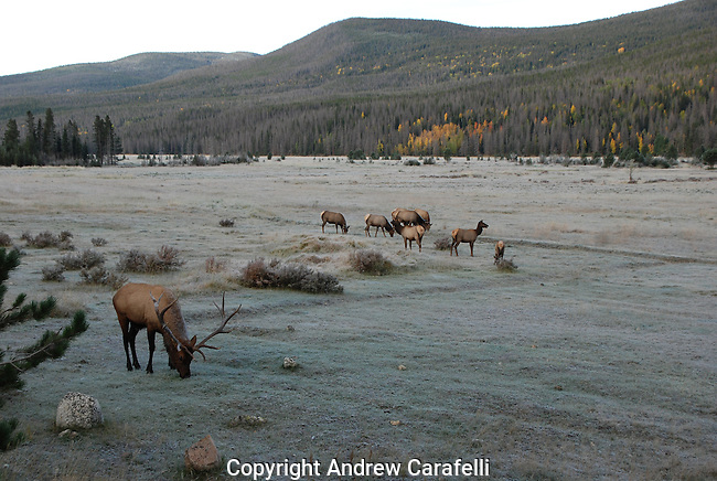 A large bull elk in Rocky Mountain National Park watches over his herd of cows during the rut in fall.