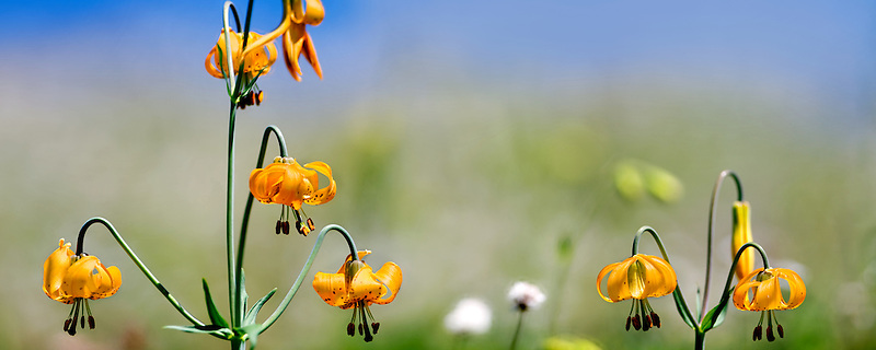 Tiger or Columbian lily (lilium columbianum).  Hurricane Ridge. Olympic National Park. Washington.