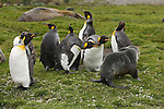 King Penguins ward off an Atlantic fur seal in St. Andrews Bay in South Georgia.