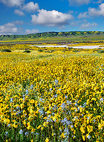 Field of Hillside Daisies (Monolopia lanceolata) and blue Native Mustard (Guillenia lemmonii) Carrizo Plain National Monument, California