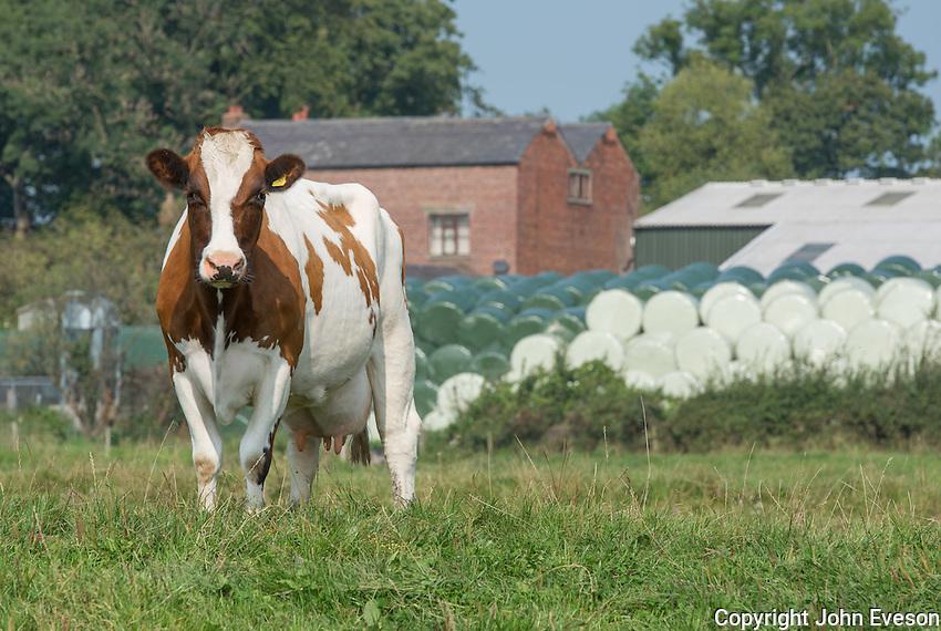MRI dairy cow.