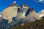Ancient glaciers carved the spectacular granite faces in Torres del Paine National Park, Chile. For days I combed this region, looking for an animal to place in the foreground of this spectacular view. My perseverance finally paid off on the very last morning of my visit, as this lone guanaco strolled by.