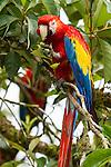 Scarlet Macaws - Feeding