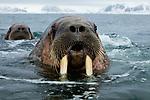 Norway, Svalbard, walruses in ocean, Odobenus rosmarus, portrait