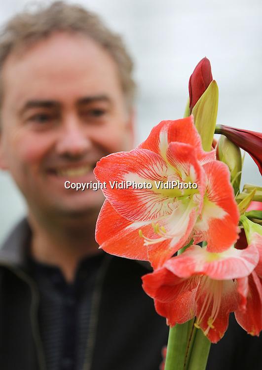 Foto: VidiPhoto<br /> <br /> HUISSEN - &quot;Je wilt ze eigenlijk niet oogsten, zo mooi zijn ze.&quot; Eigenaar Jack Janssen en Amarylliskwekerij Beaumonde in Huissen, is dol op zijn sterke en imponerende bloemen. Samen met zijn broer Wilfred kweekt hij op twee locaties in Huissen bij Arnhem acht soorten amaryllissen. Hoewel het afgelopen seizoen de prijzen wat tegenvielen -vermoedelijk door de recessie- is Jack overtuigd van de enorme potentie die amaryllissen hebben. Qua techniek verschilt de teelt weinig van die van freesia's, maar wat bloem en exclusiviteit betreft steekt de amaryllis met kop en schouders boven de andere snijbloemen uit... vindt de Betuwse kweker. Op dit moment loopt het seizoen ten einde en zijn de voorbereidingen voor de productie van 2014 -die eind oktober van start gaat- al weer in volle gang. Dat betekent dat de vierjarige planten worden geruimd en nieuwe bollen de grond in gaan. De tweejarige en driejarige planten leveren de mooiste stengels.