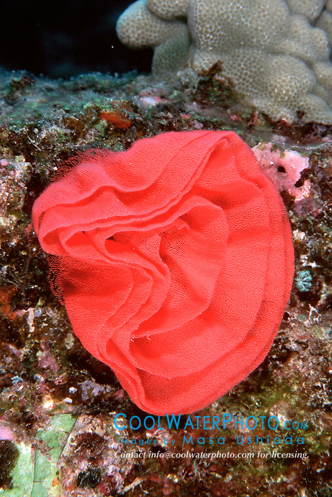 Spanish dancer nudibranch eggs, .Hexabranchus sanguineus, .Big Island, Hawaii (Pacific)