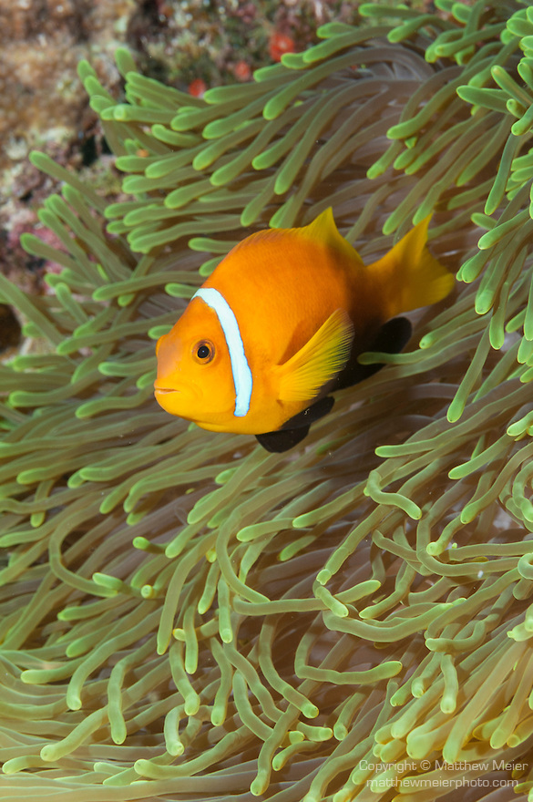 Thandi Giri, Kadhdhoo Island, Laamu Atoll, Maldives; a Blackfinned Anemonefish (Amphiprion nigripes) in a green Magnificent Sea Anemone