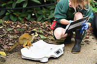 Squirrel Monkeys<br /> at the London Zoo annual Weigh-In, Regents Park, London<br /> <br /> <br /> &copy;Ash Knotek  D3296  24/08/2017