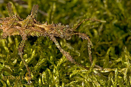 "0320-07nn  Thorny Walking Stick ""Nymph"" - Aretaon asperrimus ""Nymph"" - © David Kuhn/Dwight Kuhn Photography"