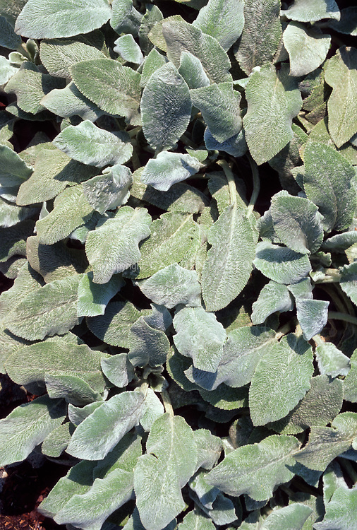 Stachys byzantina 'Silver Carpet' Non-blooming variety of Lamb's Ears, with soft