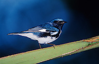 Black-throated Blue Warbler, Dendroica caerulescens,male on Palm Leaf, Rocklands, Montego Bay, Jamaica, Caribbean