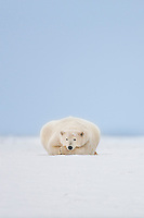 Female polar bear rest on the snow, Arctic National Wildlife Refuge, Alaska.