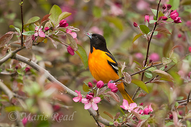 Baltimore Oriole (Icterus galbula) male foraging in flowering ornamental crabapple (Malus sp.), New York, USA