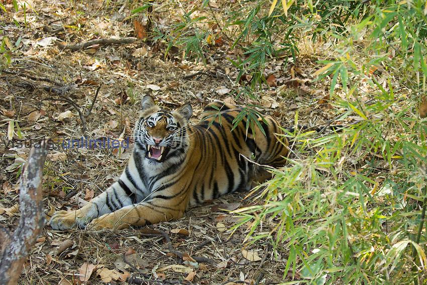 Bengal Tiger (Panthera tigris tigris) resting in undergrowth, Bandhavgarh National Park, Madhya Pradesh, India