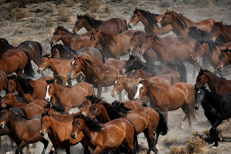 A herd of dun colored mustangs run through the dry Nevada terrain in the Jackson Mountains.