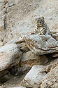 Wild female snow leopard (Panthera uncia)(sometimes Uncia uncia) resting on a rocky outcrop. Ladakh Range, Western Himalayas, Ladakh, India.