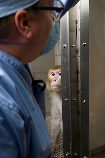 A male Rhesus monkey at the National Primate Research Center watches Scott Baum as he feeds a treat to another monkey.  (EDS NOTE: The plexiglass cage, not the animal's normal cage, is used specifically for photographing and viewing the monkeys). Photo by Kevin J. Miyazaki/Redux