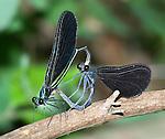 Damselflies Mating, Ebony Jewelwing, Calopteryx maculata