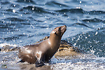 La Jolla, California; a juvenile California Sea Lion is splashed by a wave crashing along the rocky shoreline of the Pacific Ocean
