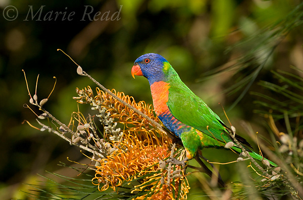 Rainbow Lorikeet (Trichoglossus haematodus) attracted to feed on nectar from Grevillea flowers, Julatten, Queensland, Australia